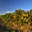 Californivineyard — Stock Photo #8908057