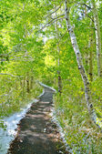 Trail through the Aspens — Stock Photo