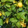 Lemons on a tree — Stock Photo