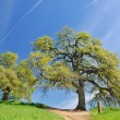 Oak Trees in spring — Stock Photo