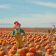 Scarecrow in a pumkin patch — Stock Photo