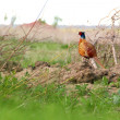 Pheasant in spring — Stock Photo #10461815