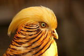 Golden pheasant — Stock Photo
