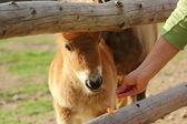 Goat eating carrot — Stock Photo