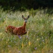 Roe deer doe — Stock Photo #8718496