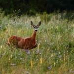 Roe deer doe — Stock Photo