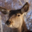Stock Photo: Red deer closeup