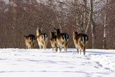 Fallow deer herd — Stock Photo