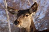 Red deer closeup — Stock Photo