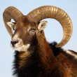 Mouflon trophy - Stock Photo