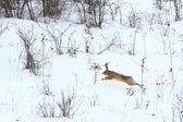 Wild hare running — Stock Photo