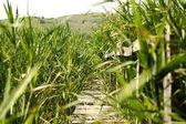 ścieżka przez trzciny — Zdjęcie stockowe