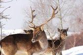 Fallow deer buck in a winter day — Stock Photo