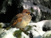 Frozen sparrow — Fotografia Stock
