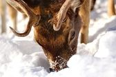 Fallow deer searching for food — Stock Photo