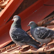 Tender pigeons — Stock Photo
