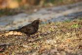 Vrouwelijke blackbird — Stockfoto