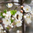 Cherry blossoms in a bloom — Stock Photo #10463715