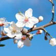 Cherry blossoms in a bloom — Stock Photo #10463722