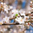 Cherry blossoms in a bloom — Stock Photo #10463730