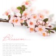Cherry blossoms in a bloom — Stock Photo