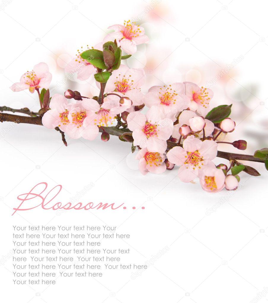 Cherry blossoms in a bloom — Stock Photo #10463750