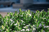 Tender green bush over the snow — ストック写真