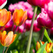 Many coloured tulips v2 — Foto Stock #8811753