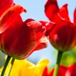 Many red tulips — Foto Stock