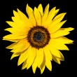 Sunflower isolated — Stockfoto