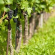 Grape vine - Stock Photo