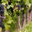 Grape vine — Stock Photo #8813144
