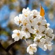 White cherry blossoms — Stock fotografie