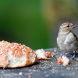 Bird with a bread roll — Stock Photo