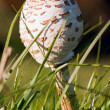 Stock Photo: Closed umbrellmushroom in grass