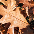 Oak leaves — Stock Photo #8817353