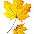 Two autumn leaves — Stock fotografie