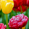 Tulips V2 — Stock Photo