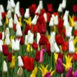 Tulips V8 — Stock Photo