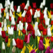 Tulips V8 - Stock Photo