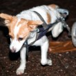 Dog with walking help — Stok Fotoğraf #8819514