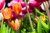 Many coloured tulips v4 — Stock Photo
