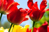 Many red tulips — Stock Photo