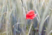 Single poppy V3 — Stock Photo