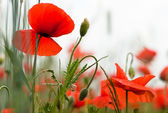 Poppy V1 — Stock Photo