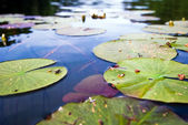 Water Lily V2 — Stock Photo