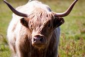苏格兰高地牛 — 图库照片