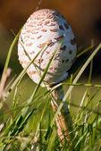 Gesloten paraplu paddestoelen in het gras — Stockfoto