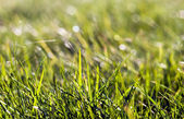 Grass Macro V2 — Stock Photo