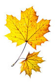 Two autumn leaves — Stock Photo
